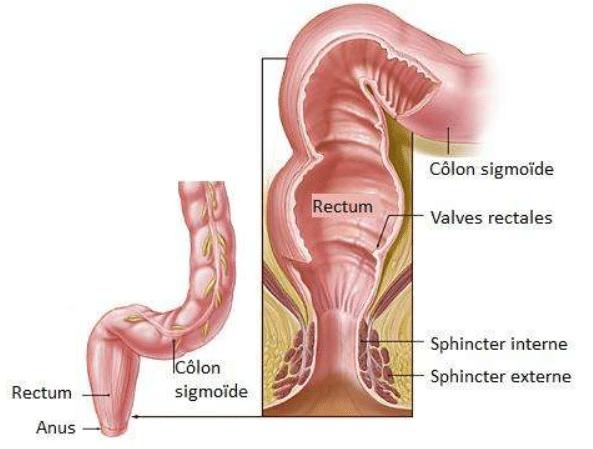 anatomy of your anus
